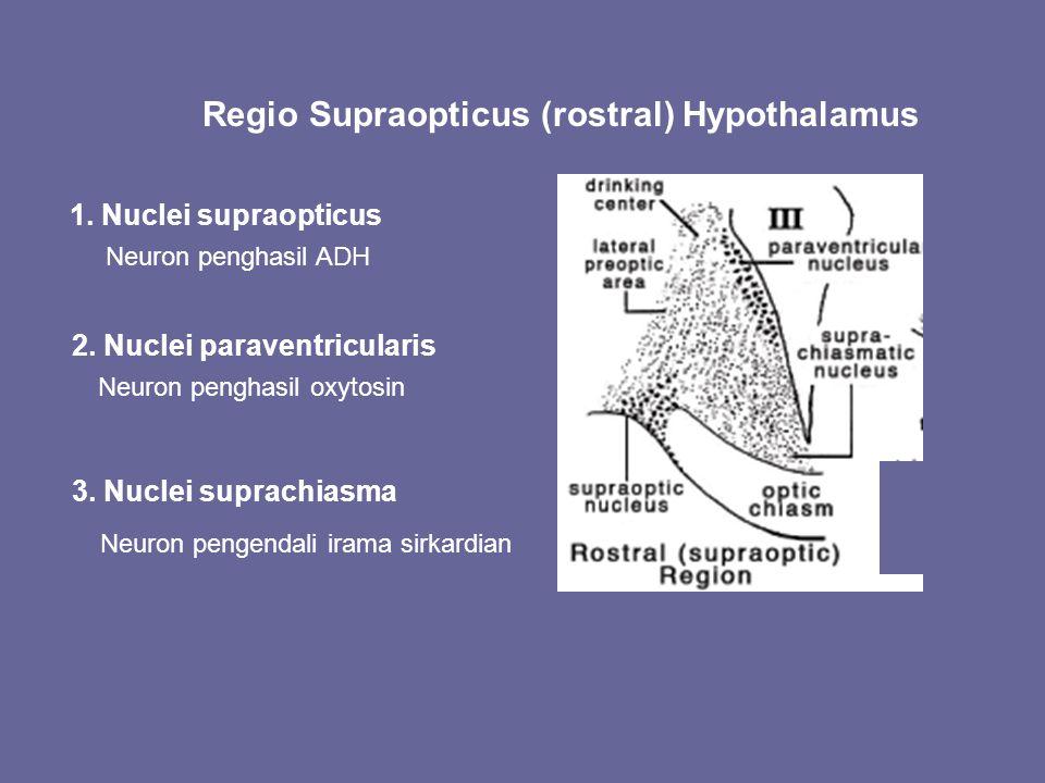 Regio Supraopticus (rostral) Hypothalamus 1. Nuclei supraopticus Neuron penghasil ADH 2. Nuclei paraventricularis Neuron penghasil oxytosin 3. Nuclei