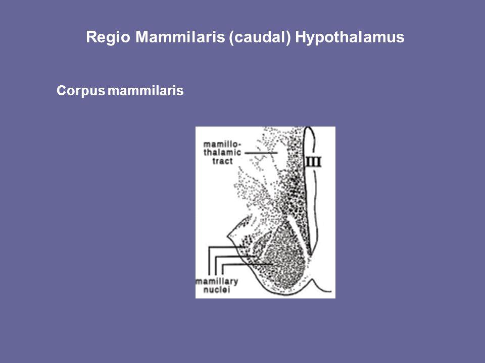 Regio Mammilaris (caudal) Hypothalamus Corpus mammilaris