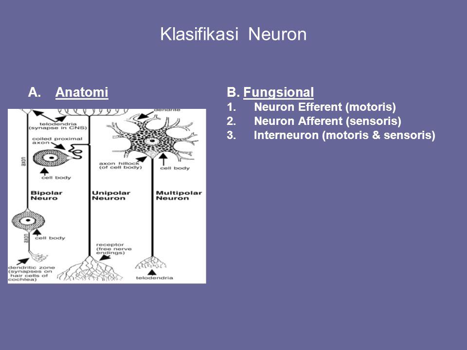 Klasifikasi Neuron A.AnatomiB. Fungsional 1.Neuron Efferent (motoris) 2.Neuron Afferent (sensoris) 3.Interneuron (motoris & sensoris)