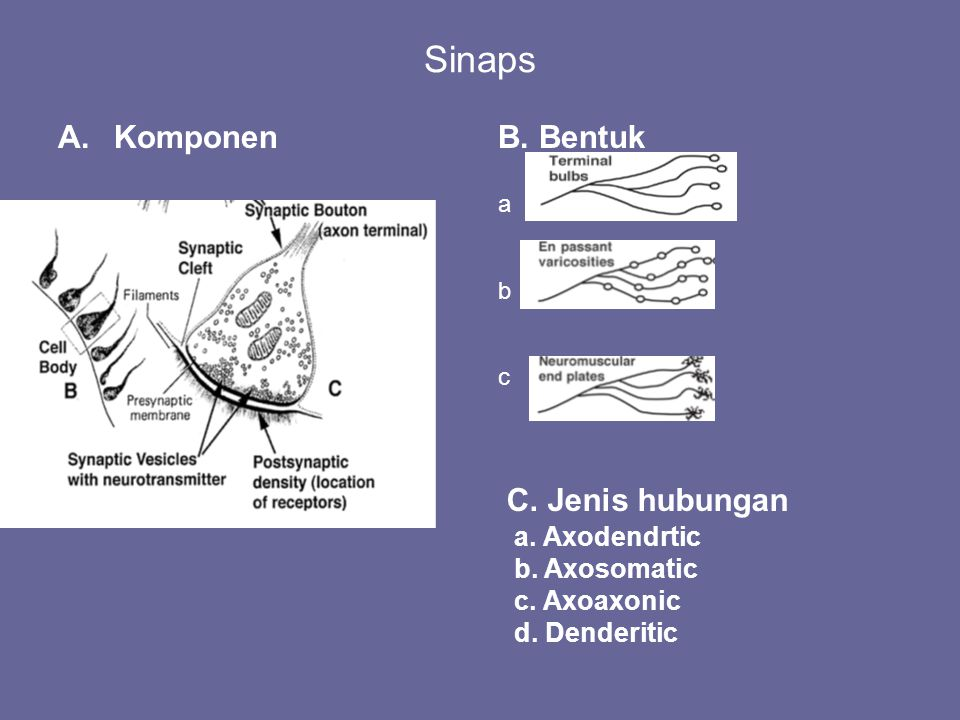 Sinaps A.KomponenB. Bentuk abcabc C. Jenis hubungan a. Axodendrtic b. Axosomatic c. Axoaxonic d. Denderitic