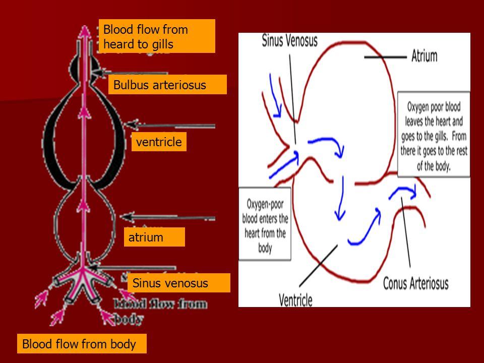 Siklus peredaran darah ikan Ventral aorta insang Dorsal aorta Kepala, Bag.