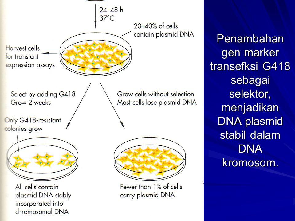 Penambahan gen marker transefksi G418 sebagai selektor, menjadikan DNA plasmid stabil dalam DNA kromosom.