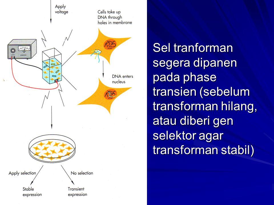 Sel tranforman segera dipanen pada phase transien (sebelum transforman hilang, atau diberi gen selektor agar transforman stabil)