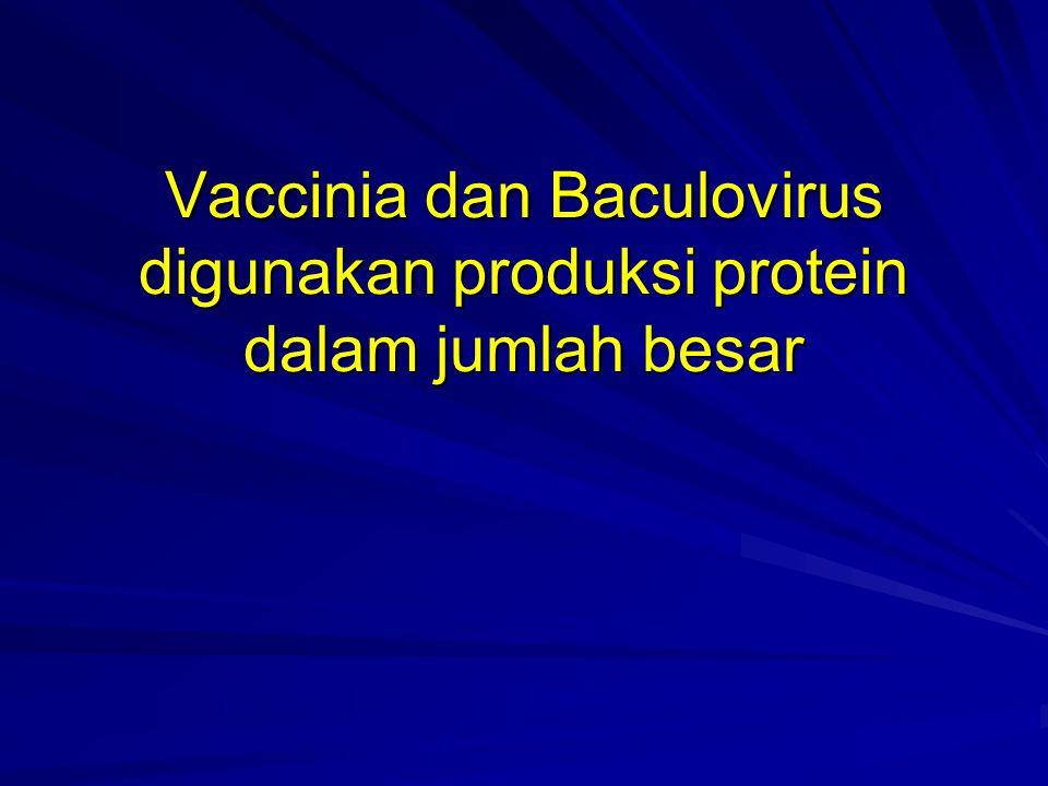 Vaccinia dan Baculovirus digunakan produksi protein dalam jumlah besar