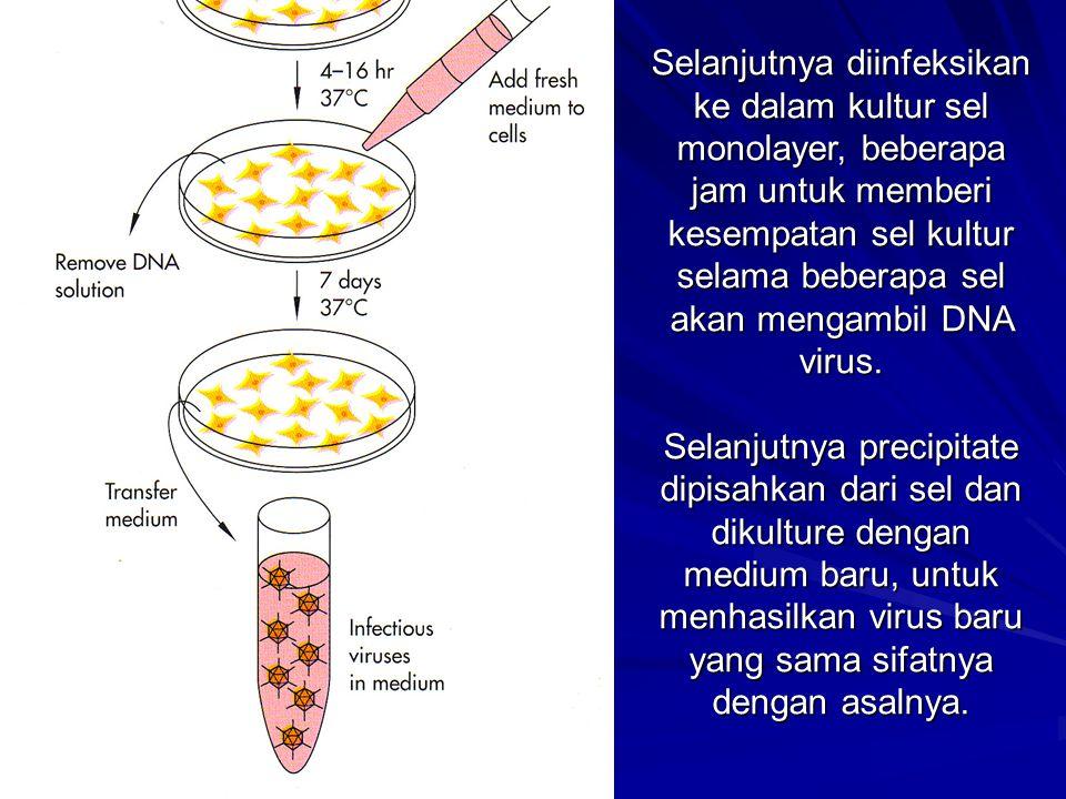 Selanjutnya diinfeksikan ke dalam kultur sel monolayer, beberapa jam untuk memberi kesempatan sel kultur selama beberapa sel akan mengambil DNA virus.
