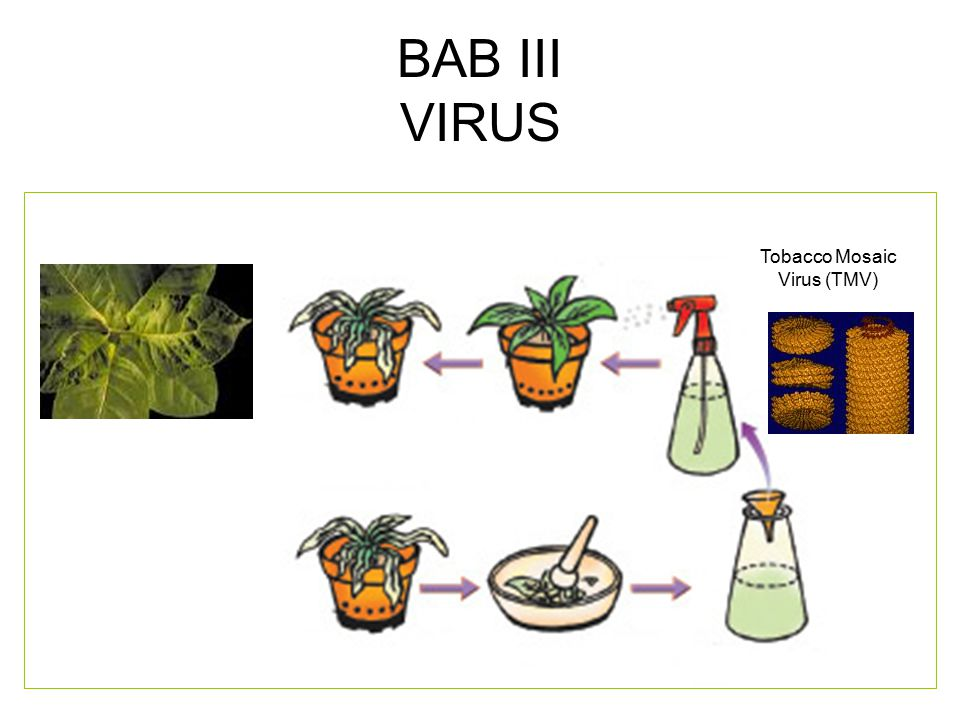 BAB III VIRUS Tobacco Mosaic Virus (TMV)