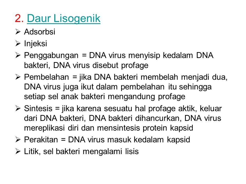 2. Daur LisogenikDaur Lisogenik  Adsorbsi  Injeksi  Penggabungan = DNA virus menyisip kedalam DNA bakteri, DNA virus disebut profage  Pembelahan =