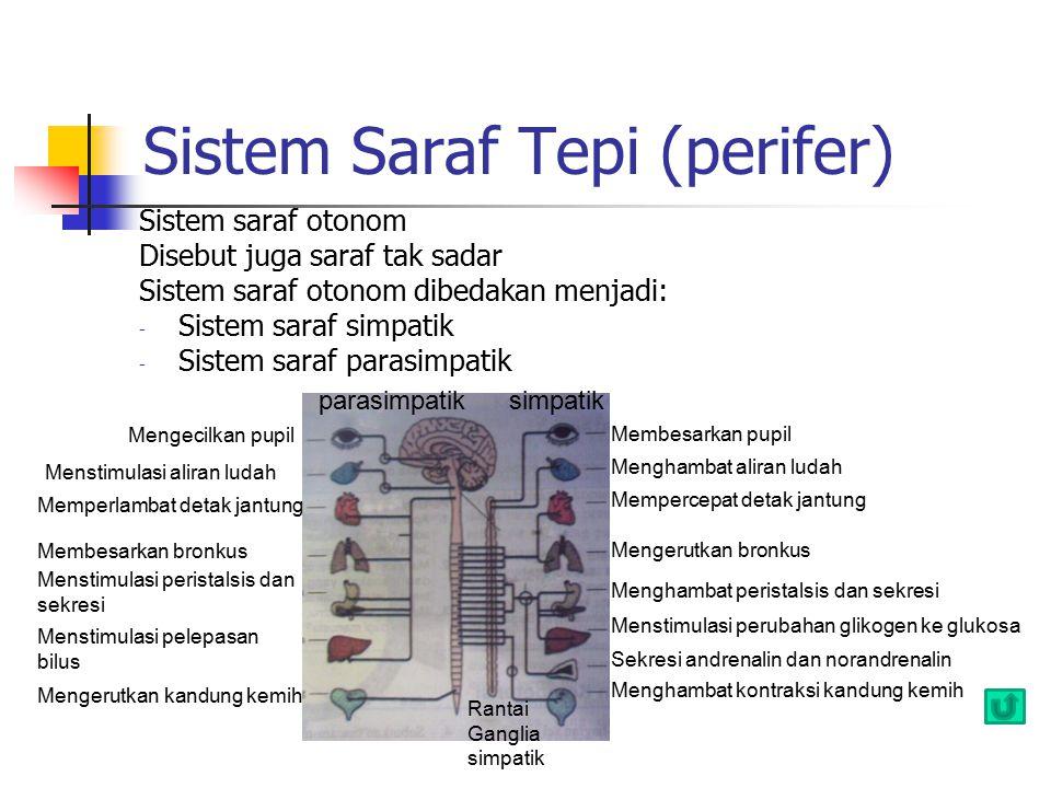 Sistem Saraf Tepi (perifer) Sistem saraf otonom Disebut juga saraf tak sadar Sistem saraf otonom dibedakan menjadi: - Sistem saraf simpatik - Sistem s