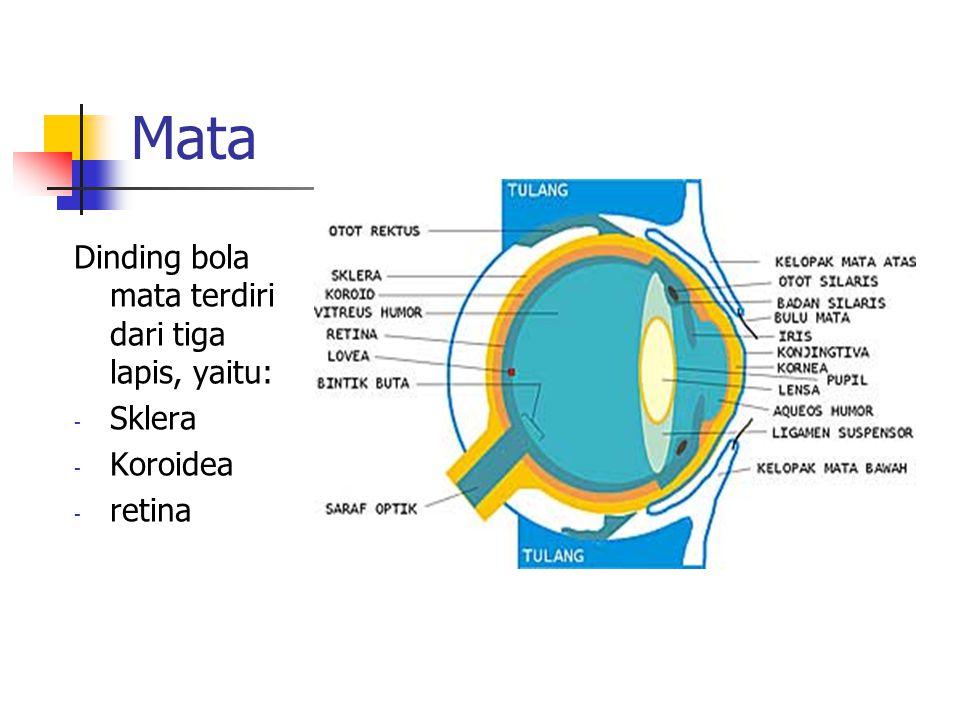 Mata Dinding bola mata terdiri dari tiga lapis, yaitu: - Sklera - Koroidea - retina