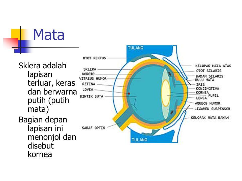 Mata Sklera adalah lapisan terluar, keras dan berwarna putih (putih mata) Bagian depan lapisan ini menonjol dan disebut kornea