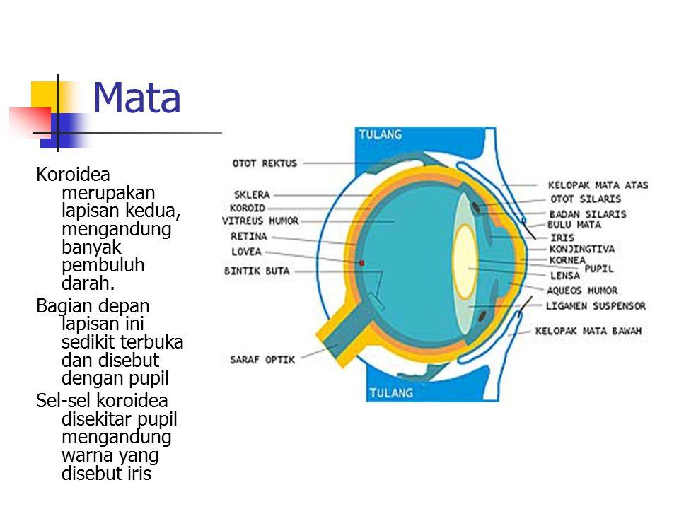 Mata Koroidea merupakan lapisan kedua, mengandung banyak pembuluh darah.