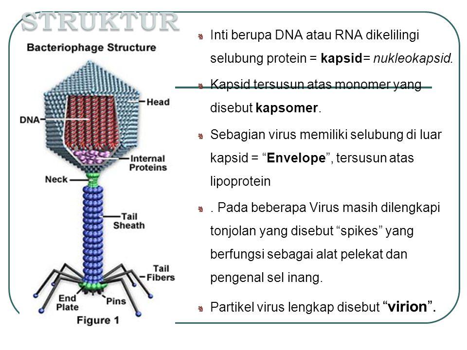 Inti berupa DNA atau RNA dikelilingi selubung protein = kapsid= nukleokapsid. Kapsid tersusun atas monomer yang disebut kapsomer. Sebagian virus memil