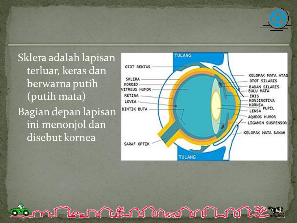 Sklera adalah lapisan terluar, keras dan berwarna putih (putih mata) Bagian depan lapisan ini menonjol dan disebut kornea