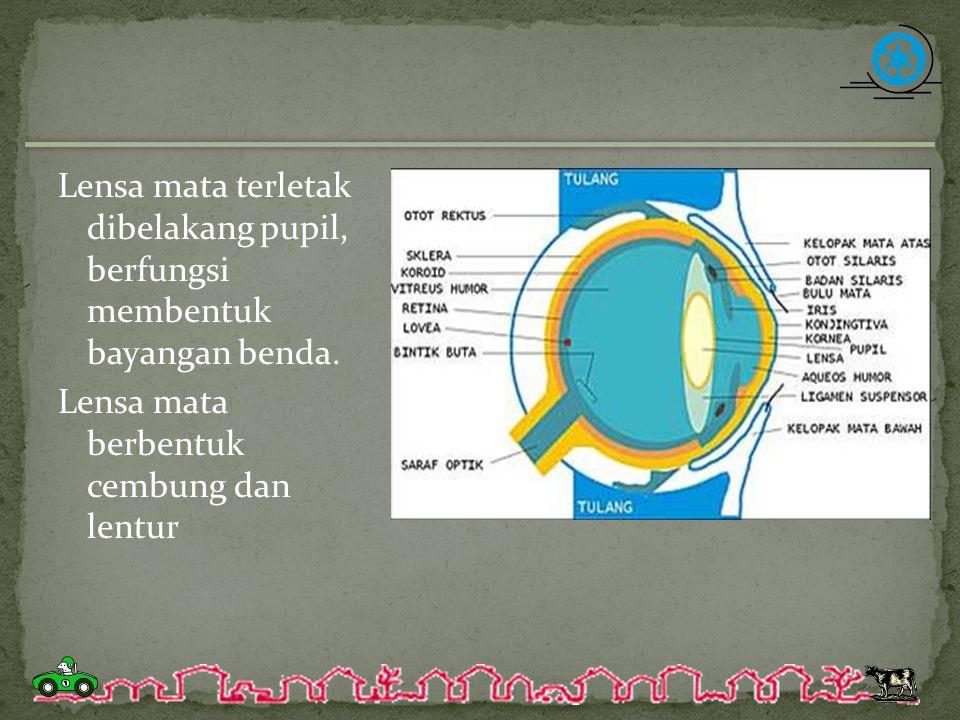 Lensa mata terletak dibelakang pupil, berfungsi membentuk bayangan benda. Lensa mata berbentuk cembung dan lentur