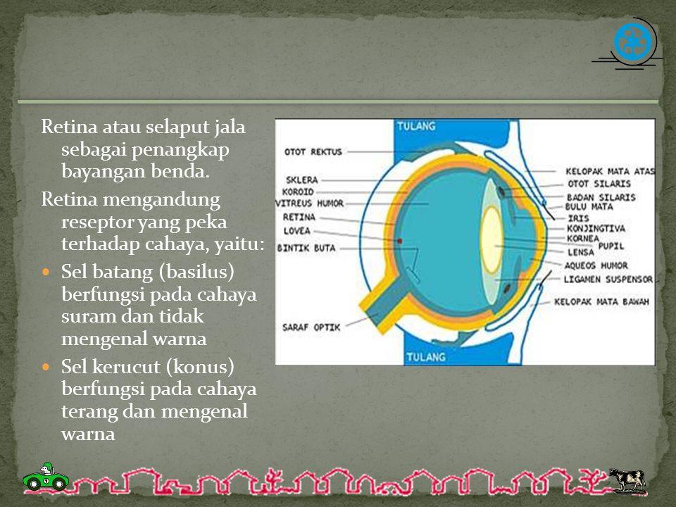 Retina atau selaput jala sebagai penangkap bayangan benda. Retina mengandung reseptor yang peka terhadap cahaya, yaitu: Sel batang (basilus) berfungsi