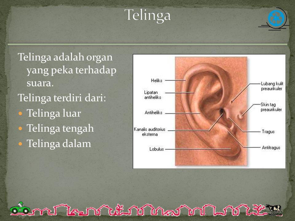 Telinga adalah organ yang peka terhadap suara. Telinga terdiri dari: Telinga luar Telinga tengah Telinga dalam