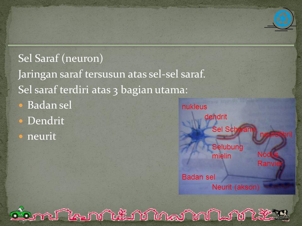 Badan sel Di dalam badan sel terdapat: Sitoplasma Nukleus (inti sel) Nukleous (anak inti sel) nukleus dendrit Sel Schwann neurofibril Selubung mielin Badan sel Neurit (akson) Nodus Ranvier
