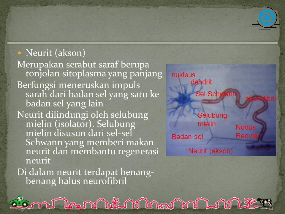 Merupakan serabut saraf berupa tonjolan sitoplasma yang panjang Berfungsi meneruskan impuls sarah dari badan sel yang satu ke badan sel yang lain Neur