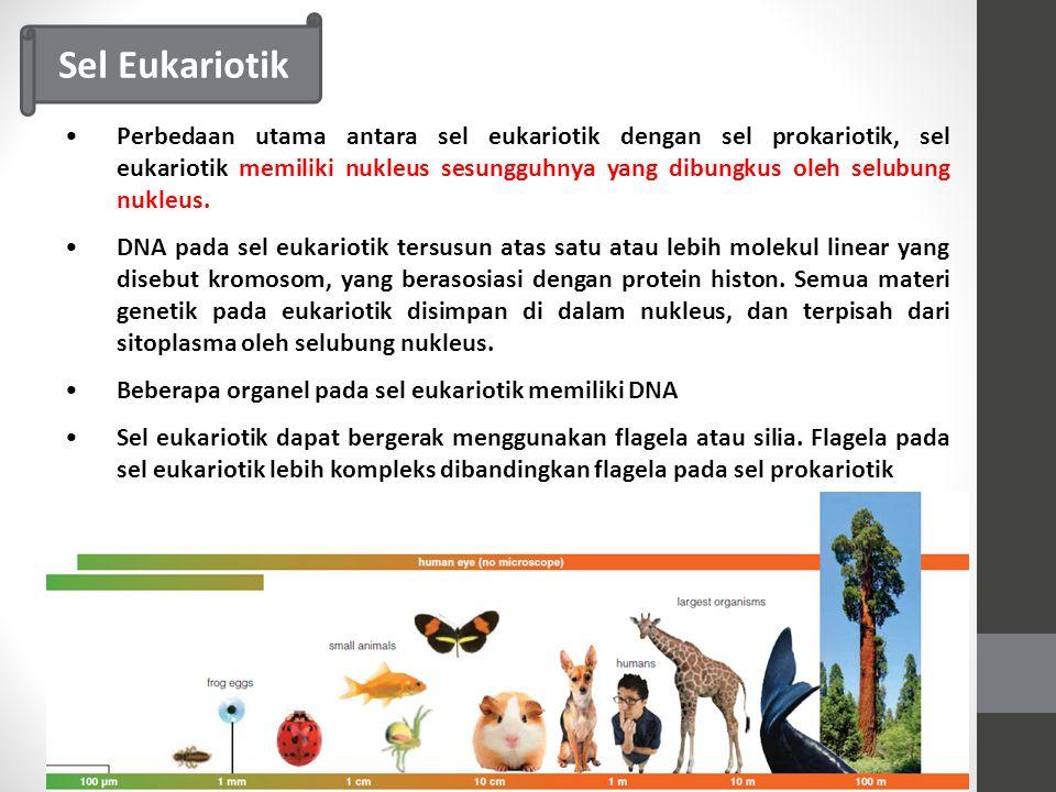 Perbedaan utama antara sel eukariotik dengan sel prokariotik, sel eukariotik memiliki nukleus sesungguhnya yang dibungkus oleh selubung nukleus.