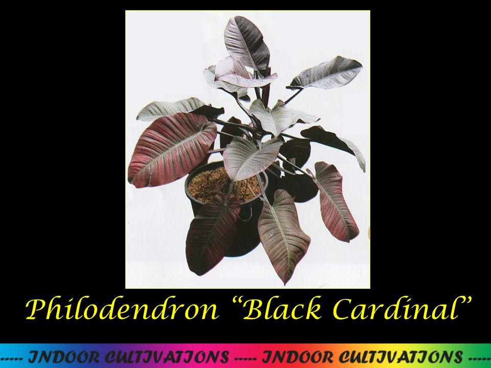 "Philodendron ""Black Cardinal"""