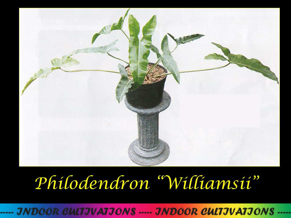 "Philodendron ""Williamsii"""