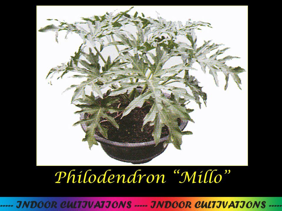 "Philodendron ""Millo"""