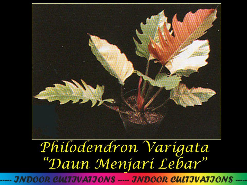 "Philodendron Varigata ""Daun Menjari Lebar"""