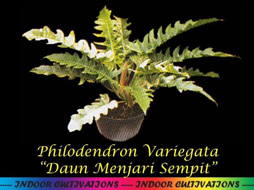 "Philodendron Variegata ""Daun Menjari Sempit"""