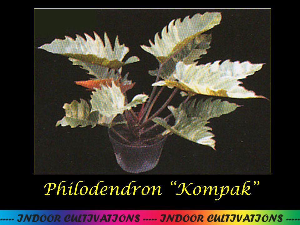 """Philodendron """"Kompak"""""""