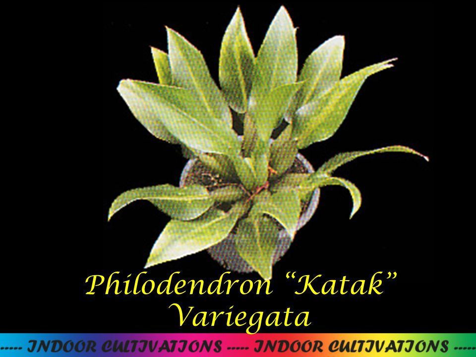 "Philodendron ""Katak"" Variegata"