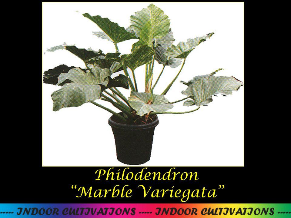 Philodendron Pin Ball Variegata