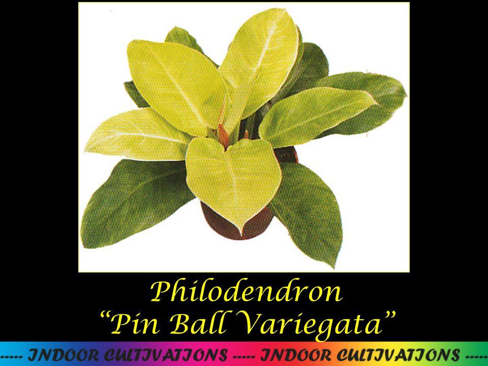"""Philodendron """"Pin Ball Variegata"""""""