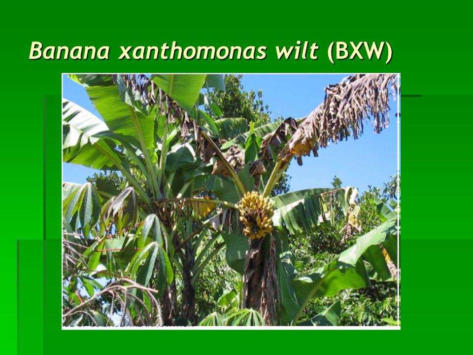Banana xanthomonas wilt (BXW)