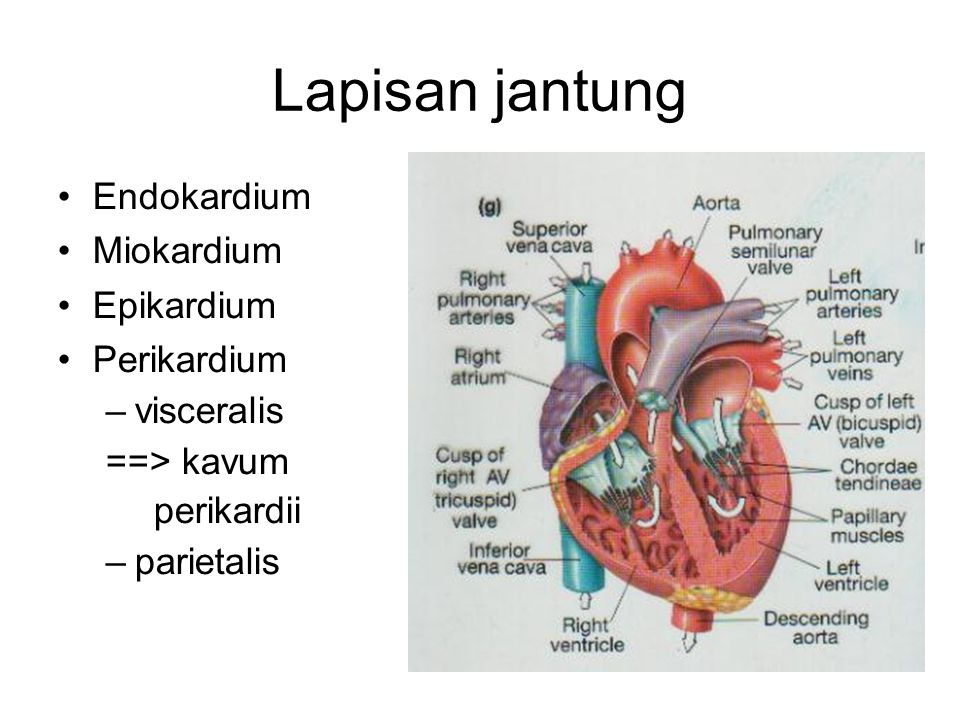 Lapisan jantung Endokardium Miokardium Epikardium Perikardium –visceralis ==> kavum perikardii –parietalis