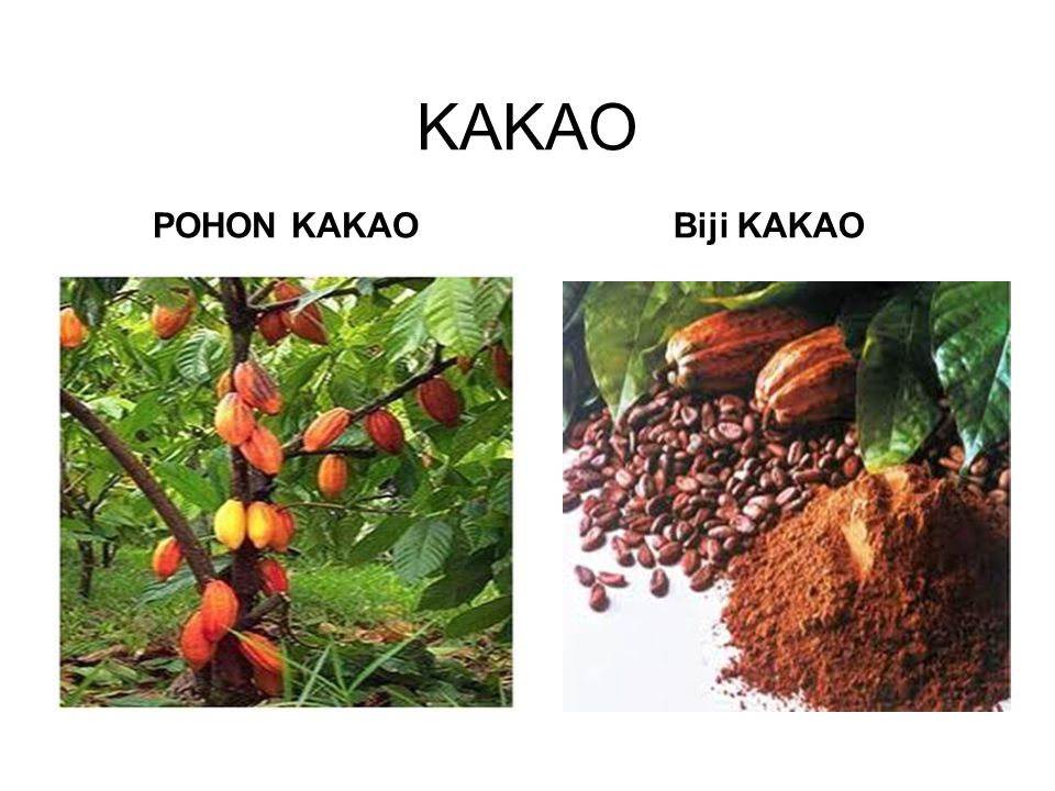 KAKAO POHON KAKAOBiji KAKAO