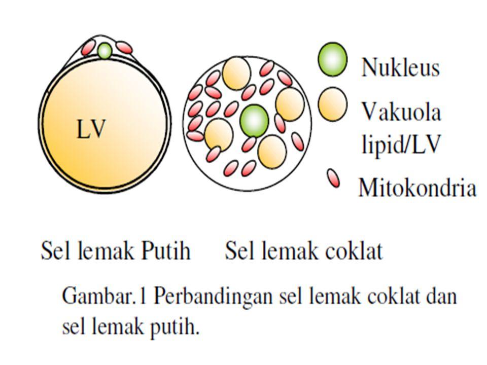3.Jaringan lemak coklat berisi simpanan trigliserida konsentrasi tinggi.