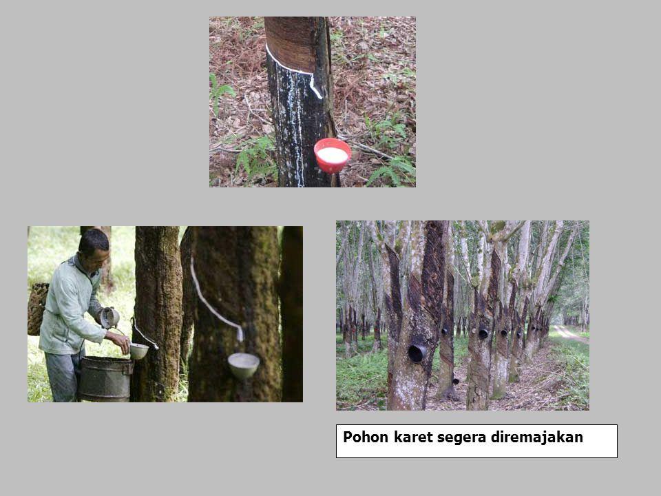 Pohon karet segera diremajakan