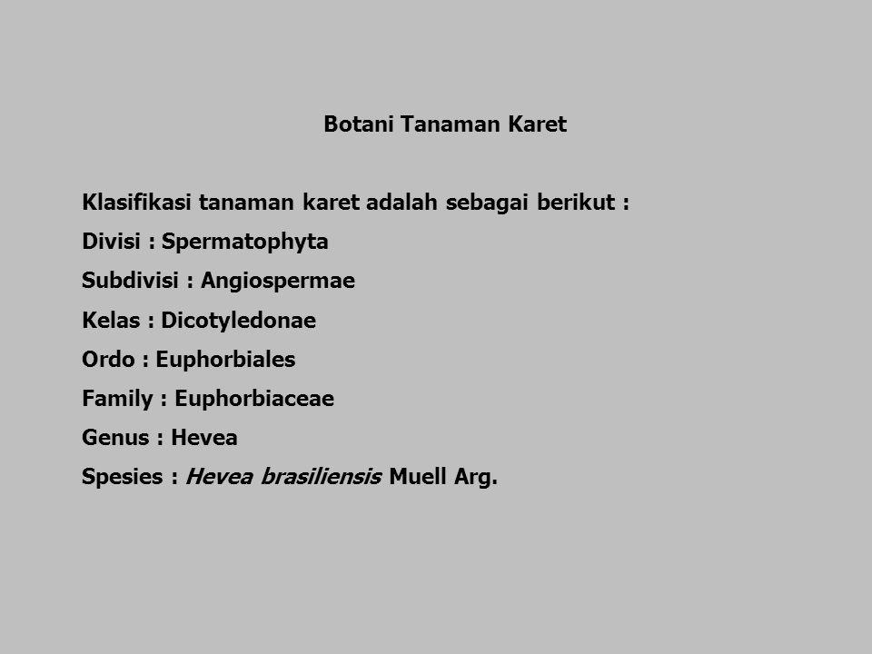 Botani Tanaman Karet Klasifikasi tanaman karet adalah sebagai berikut : Divisi : Spermatophyta Subdivisi : Angiospermae Kelas : Dicotyledonae Ordo : E