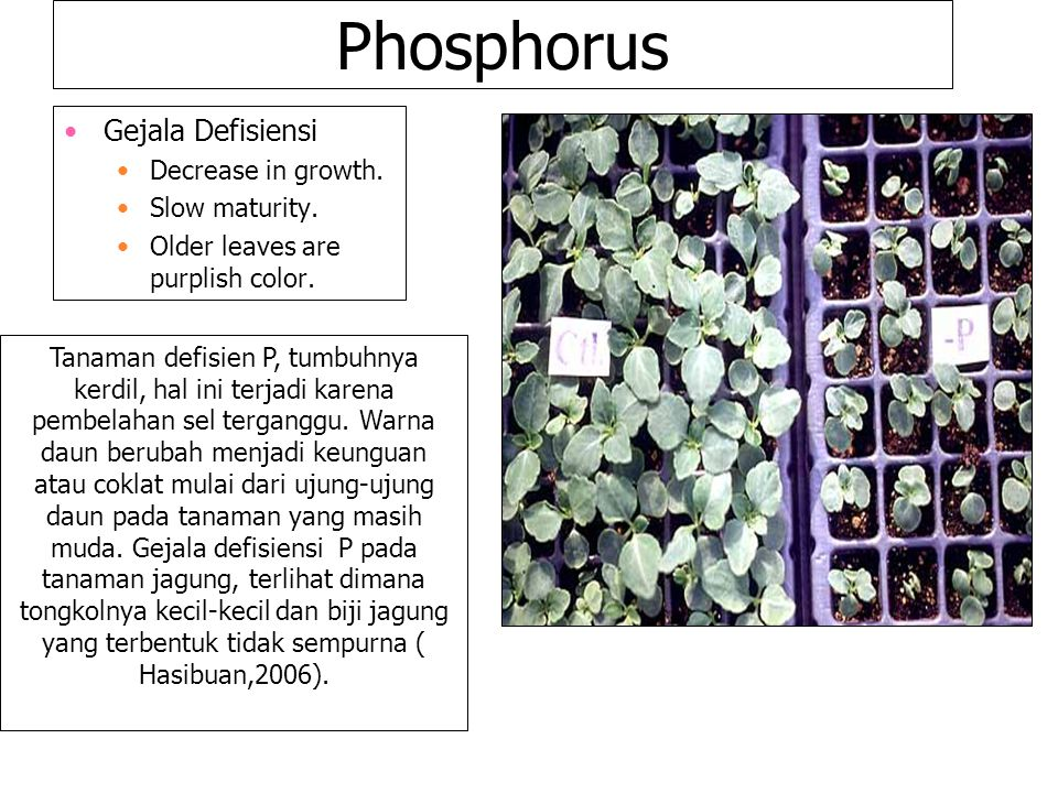 Phosphorus Gejala Defisiensi Decrease in growth. Slow maturity. Older leaves are purplish color. Tanaman defisien P, tumbuhnya kerdil, hal ini terjadi