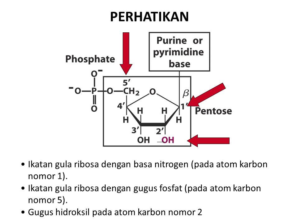 PERHATIKAN Ikatan gula ribosa dengan basa nitrogen (pada atom karbon nomor 1).