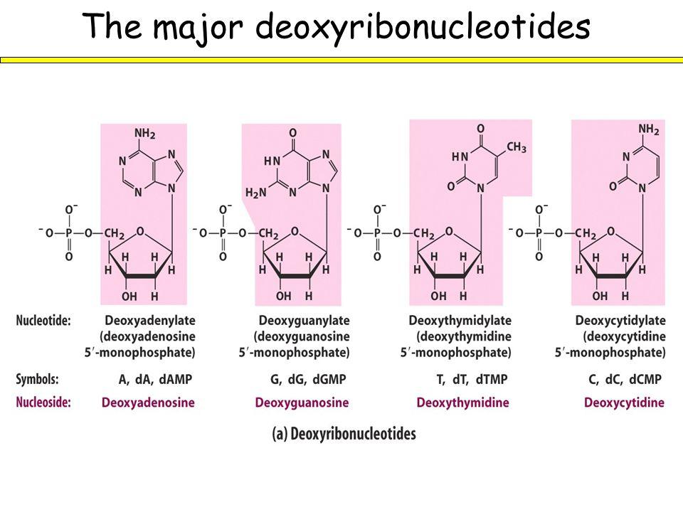 The major deoxyribonucleotides