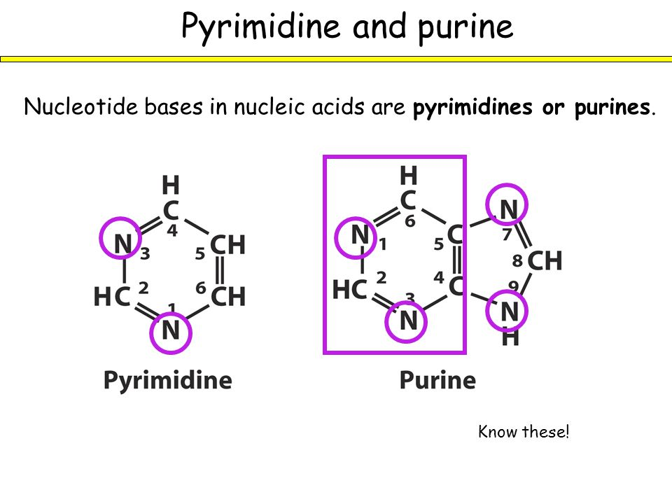 Major bases in nucleic acids Among the pyrimidines, C occurs in both RNA and DNA, but T occurs in DNA, and U occurs in RNA Know these.