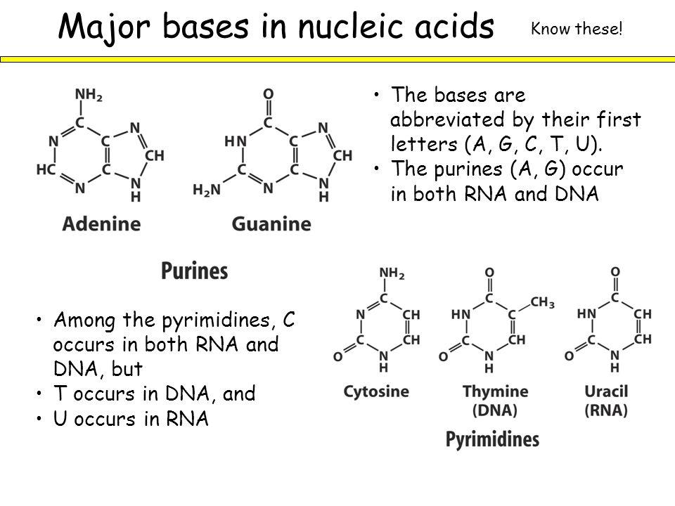 Gula pada asam nukleat adalah ribosa.