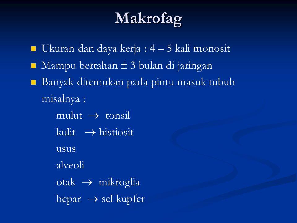 Makrofag Ukuran dan daya kerja : 4 – 5 kali monosit Mampu bertahan  3 bulan di jaringan Banyak ditemukan pada pintu masuk tubuh misalnya : mulut  tonsil kulit  histiosit usus alveoli otak  mikroglia hepar  sel kupfer