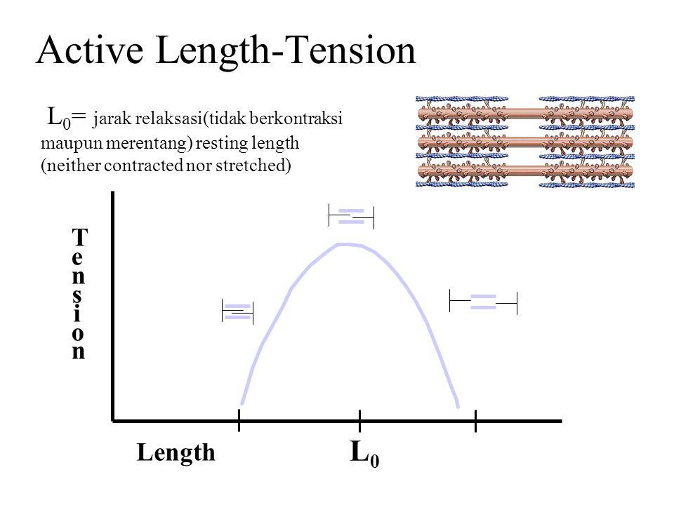 Active Length-Tension L 0 = jarak relaksasi(tidak berkontraksi maupun merentang) resting length (neither contracted nor stretched) Length TensionTensi