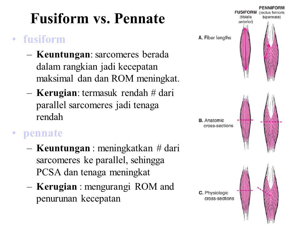 Struktur dan Panjang/Tegangan (Architecture and Length/Tension) Force (N) Muscle Length (cm) long fibers short fibers Force (N) Muscle Length (cm) large PCSA small PCSA