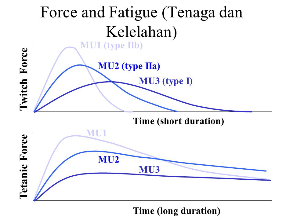 Force and Fatigue (Tenaga dan Kelelahan) Twitch Force MU1 (type IIb) MU2 (type IIa) MU3 (type I) Time (short duration) Tetanic Force MU1 MU2 MU3 Time