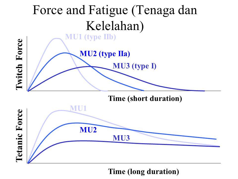 velocity of contraction (kecepatan kontraksi) v < 0 (eccentric) v > 0 (concentric) v=0 (isometric) force Force – Velocity Relationship (Hubungan tenaga-tegangan) Catatan: Diperuntukkan bagi kontraksi maksimum pada jarak relaksasi otot.(This is for a maximal contraction at the resting length of the muscle).