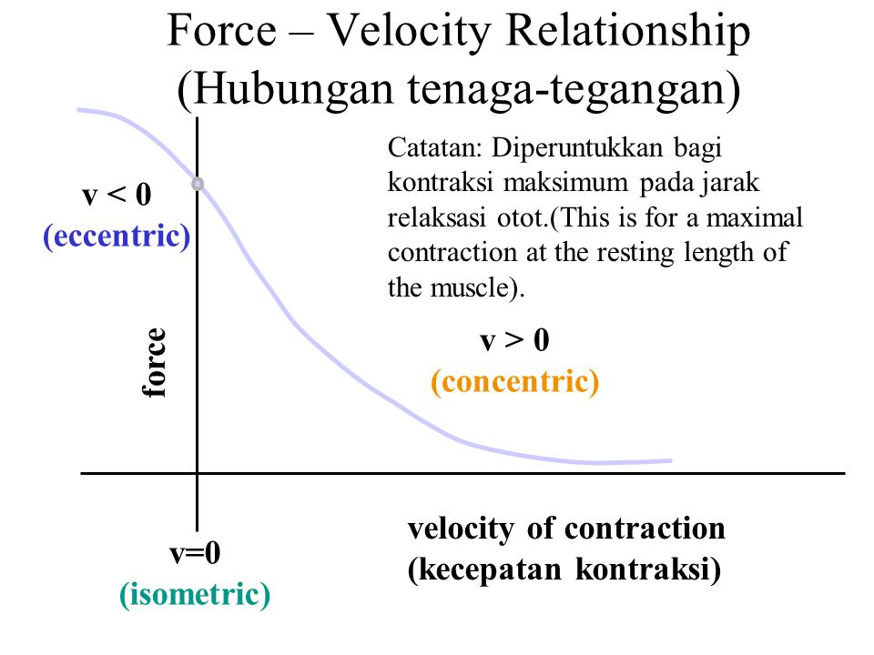 velocity of contraction (kecepatan kontraksi) v < 0 (eccentric) v > 0 (concentric) v=0 (isometric) force Force – Velocity Relationship (Hubungan tenag