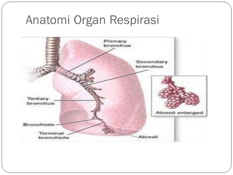 Anatomi Organ Respirasi